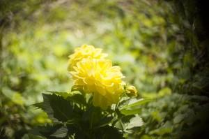 yellowdahlia-estrella