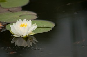 waterlily-2