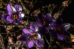 purple crocus with Photoshop effects