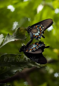 mating pipevine swallowtail butterflies
