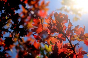 Black lit red fall leaves on tree