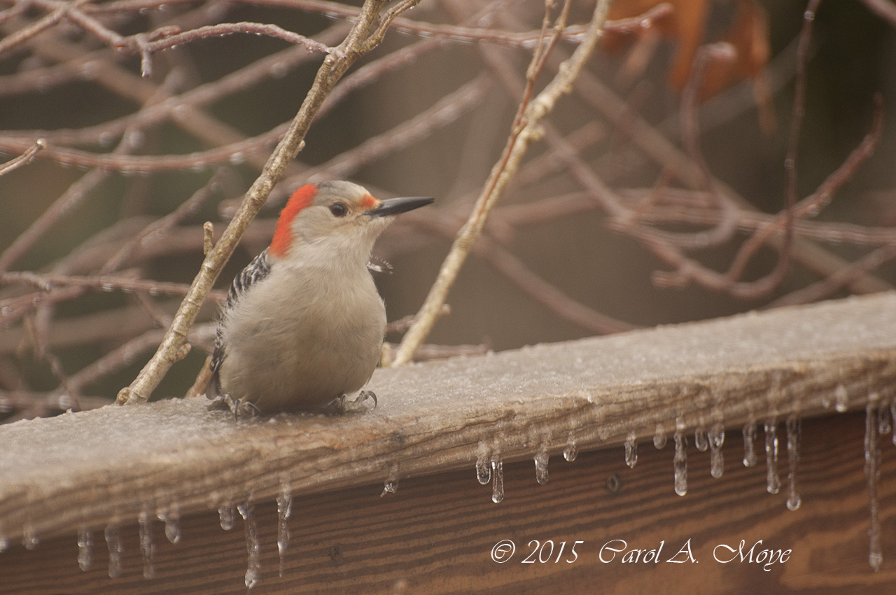 woodpecker on icy deck