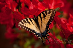 Tiger Swallowtail on Red Azalea Bush