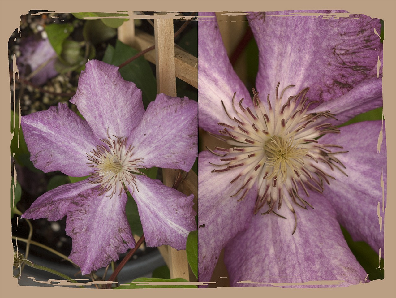 Clematis_Sprinkles tychpanel_edgefx
