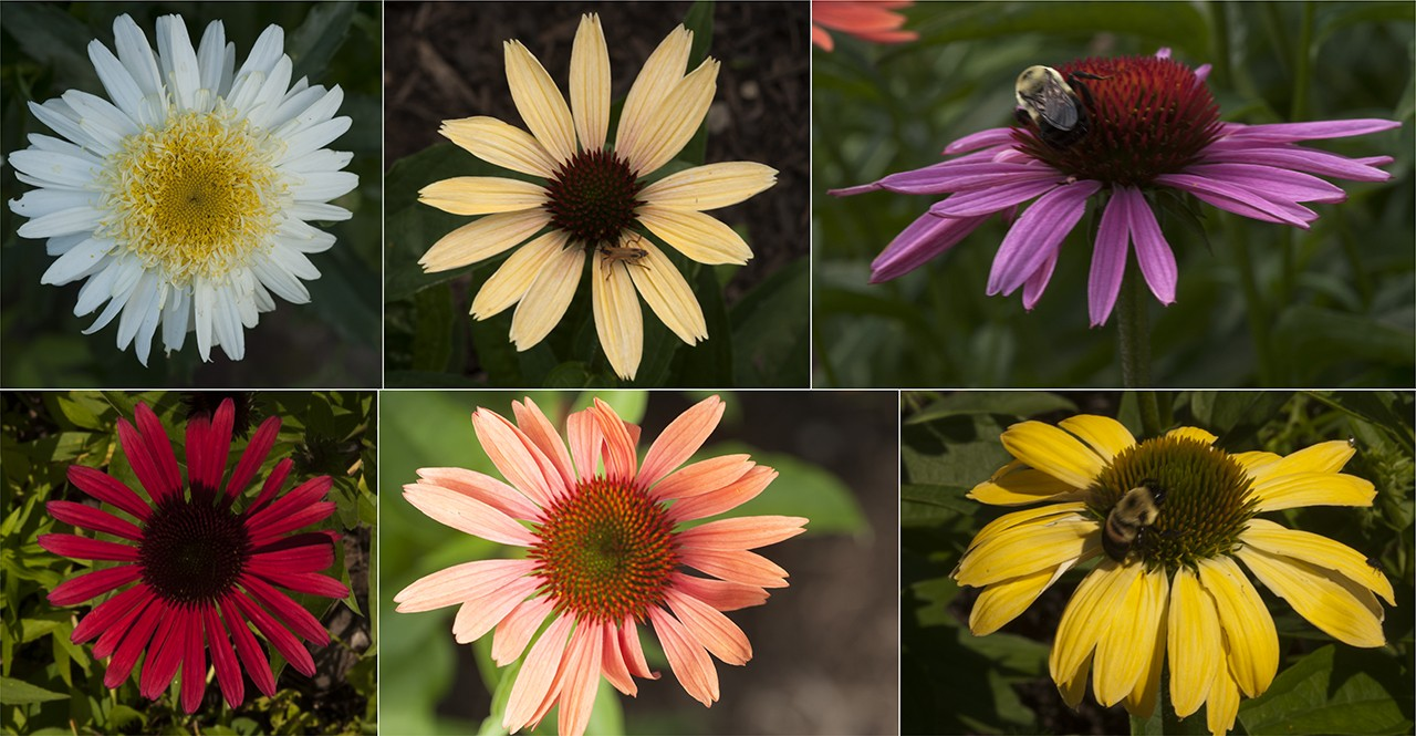Collage of different Echinacea varieties