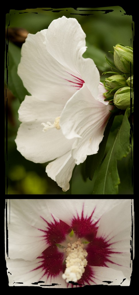 Rose of Sharon flower photos
