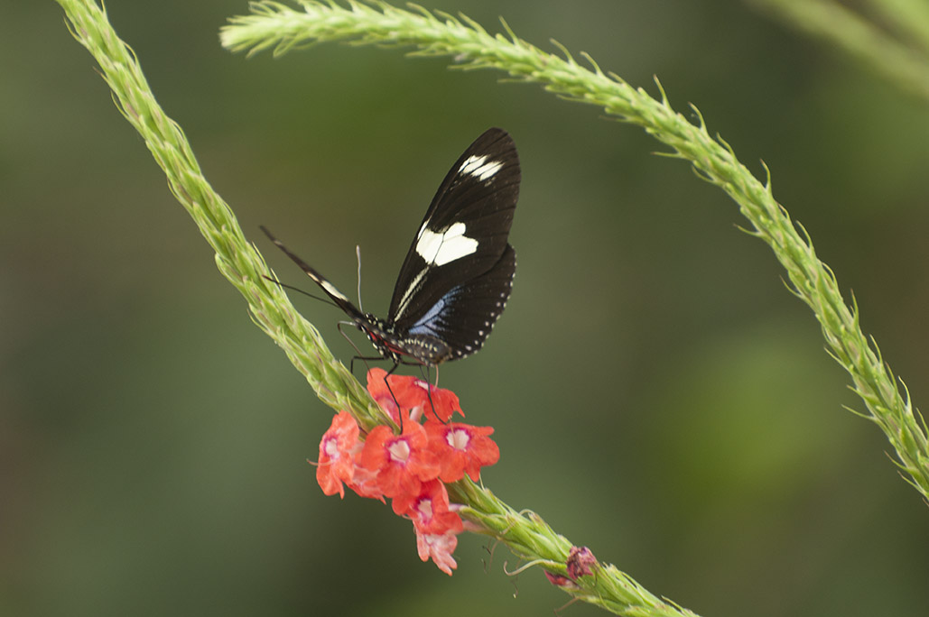 blackspotted butterfly on tinyred flowers
