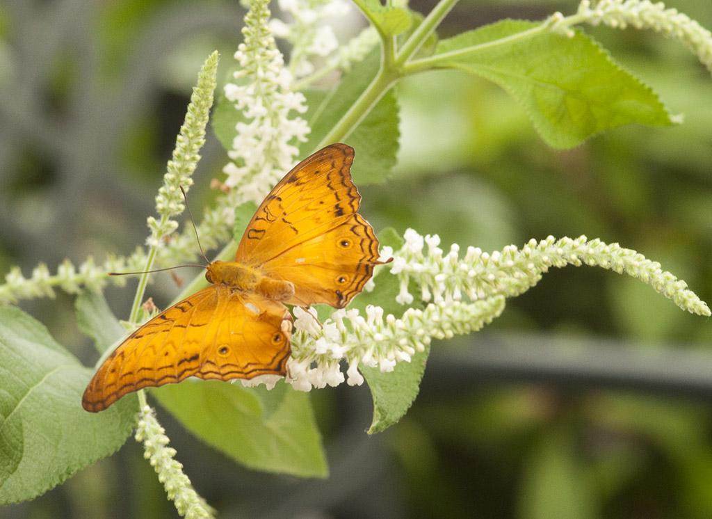orangeTBAbutterfly